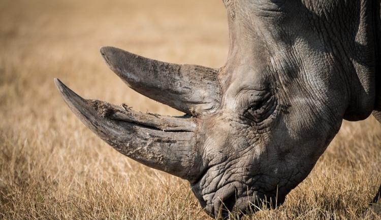 Pět nosorožců se v neděli vydá do Rwandy. Podpoří tamní populaci