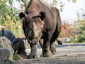 Nosorožec černý, ilustrační foto