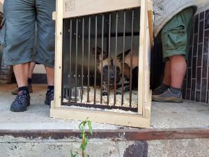 Transport psů hyenových