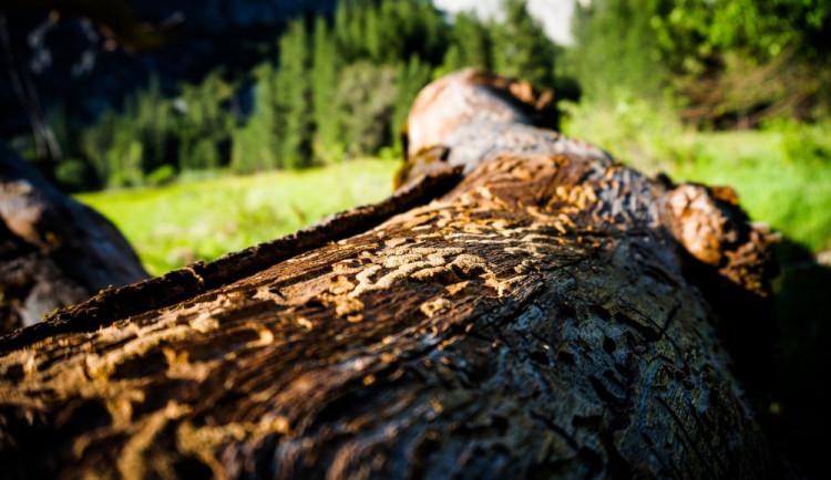 Lesy ČR kvůli kůrovci zvýší výsadbu o pětinu na 55 miliónů stromků