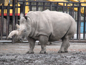 Nosorožec bílý severní
