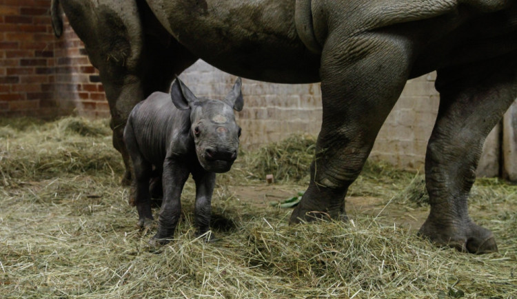 V dvorské zoo začal přesun desítek zvířat ze safari do zimovišť